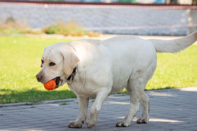bold til hund
